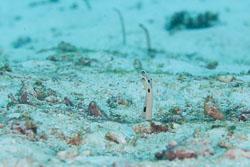 BD-130709-Maldives-9876-Heteroconger-hassi-(Klausewitz---Eibl-Eibesfeldt.-1959)-[Spotted-garden-eel].jpg